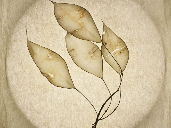 Transparent leaves